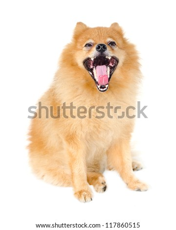 Pomeranian dog gape on white background. - stock photo