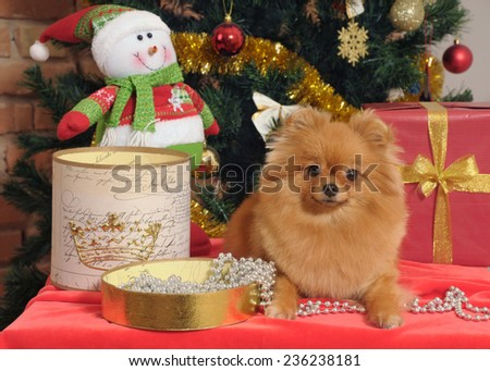 pomeranian dog  in home with christmas tree decoration