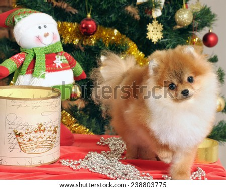 pomeranian dog  in home with christmas tree decoration - stock photo