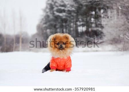 Pomeranian dog in snow. Winter dog. Dog in snow. Spitz in winter forest. Winter - stock photo