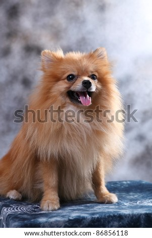 pomeranian dog in studio - stock photo