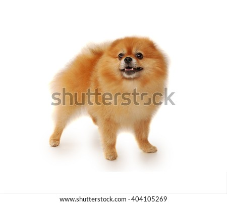 Pomeranian dog isolated in front of white background - stock photo