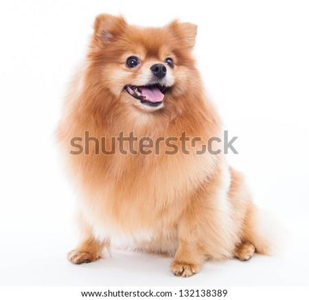 Pomeranian dog isolated on a white background - stock photo