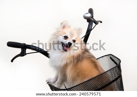 Pomeranian dog isolated on a white background. - stock photo