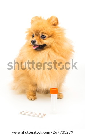 Pomeranian dog isolated on white with empty container and pills. - stock photo