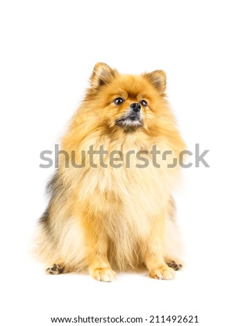 Pomeranian dog looking for something isolated on white background - stock photo