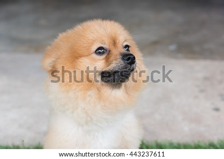 Pomeranian dog on green grass look me