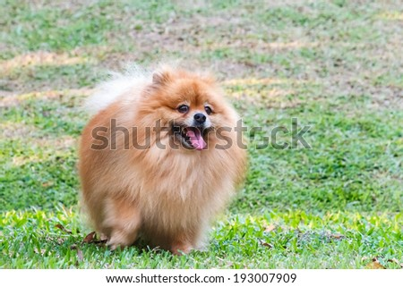 Pomeranian dog playing on green grass in the garden - stock photo