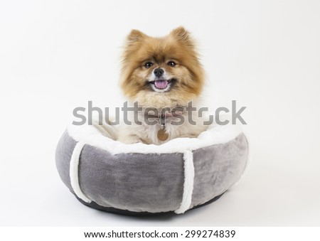 Pomeranian dog puppy sitting in pet bed smiling - stock photo