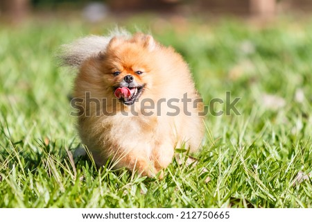 Pomeranian dog running on green grass in the garden - stock photo