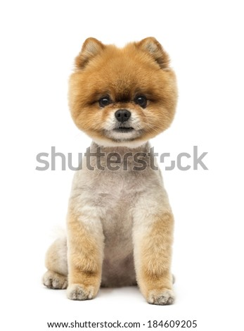 Pomeranian dog sitting and looking at the camera - stock photo