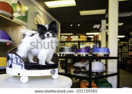 Pomeranian dog sitting in a custom bed - stock photo