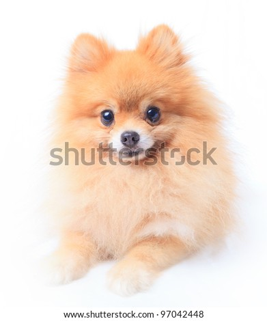 pomeranian dog sitting in front of white - stock photo