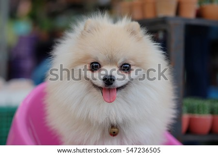Pomeranian dog sitting on a chair in front of pink cactus sales revenue. ( Selective focus )