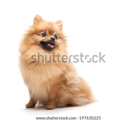 pomeranian dog sitting on isolated background - stock photo
