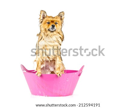 Pomeranian dog taking a bath standing in pink bathtub isolated on white background - stock photo