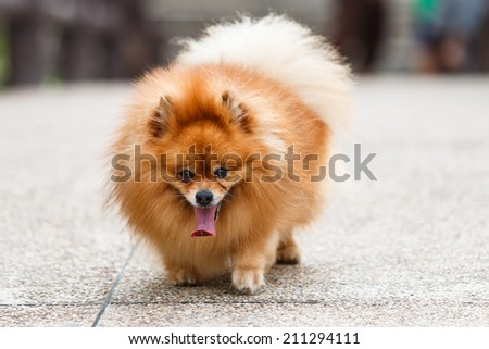 Pomeranian dog walking on concrete road in the garden - stock photo