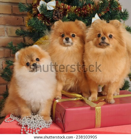 pomeranian dogs  in home with Christmas tree decoration - stock photo