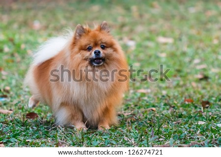 Pomeranian doing the symbol to declare its territory - stock photo