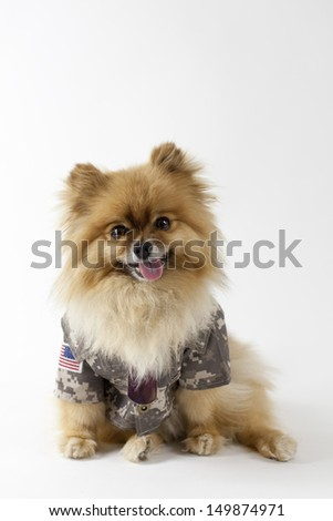 Pomeranian dressed in military uniform - stock photo