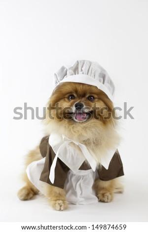 Pomeranian dressed in Pilgrim's costume - stock photo