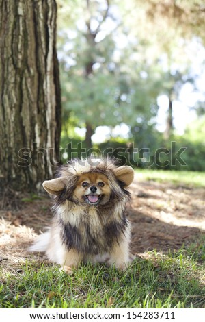 Pomeranian dressed up as a lion playing at the park - stock photo