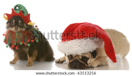 pomeranian dressed up as santa elf and pug dressed as santa with reflection on white background - stock photo