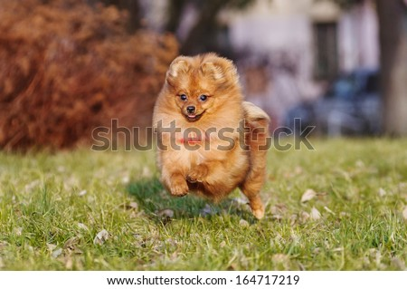 Pomeranian for a walk in the park - stock photo