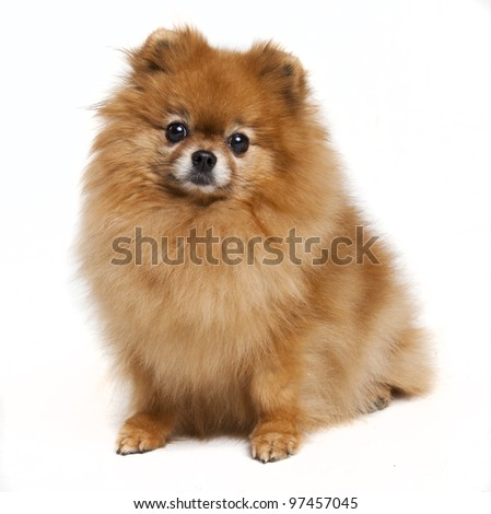 Pomeranian in a studio - stock photo