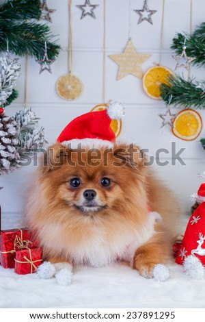 Pomeranian in santa clothing on a background of Christmas decorations - stock photo