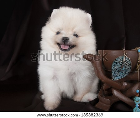 Pomeranian in the studio on a background