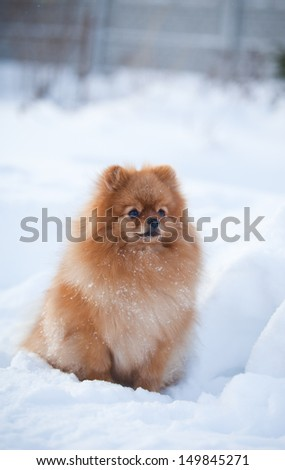 Pomeranian in the winter in the snow