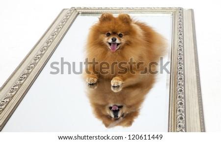Pomeranian on a mirror - studio - stock photo