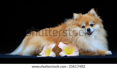 Pomeranian on Black Background - stock photo