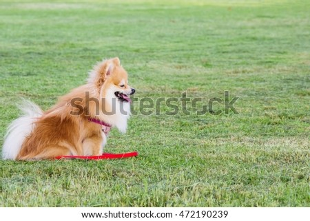 Pomeranian on green grass in the public park