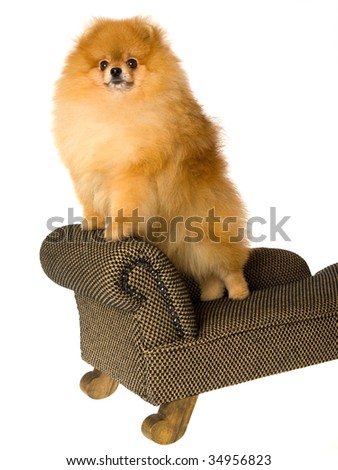 Pomeranian on miniature couch, on white background - stock photo
