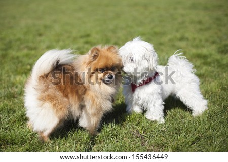 Pomeranian playing with a white puppy at the park - stock photo