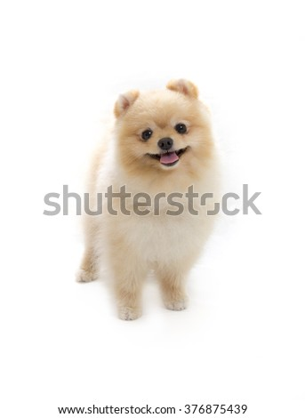 Pomeranian portrait. A cute puppy is standing in a photoshoot. Image taken in a studio. The dog breed is The Pomeranian often known as a Pom or Pom Pom. - stock photo