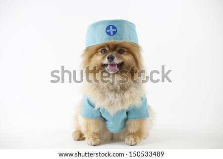 Pomeranian posed and dressed as a surgeon in surgical scrubs - stock photo