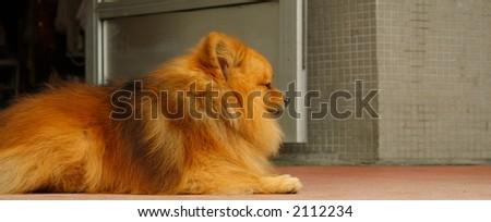 Pomeranian Pup - stock photo