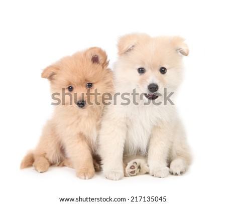 Pomeranian Puppies Cuddling Together on White Background - stock photo