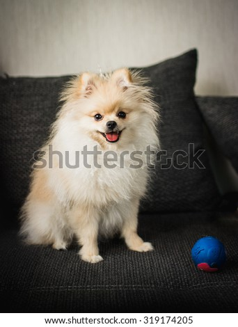 pomeranian puppy - stock photo