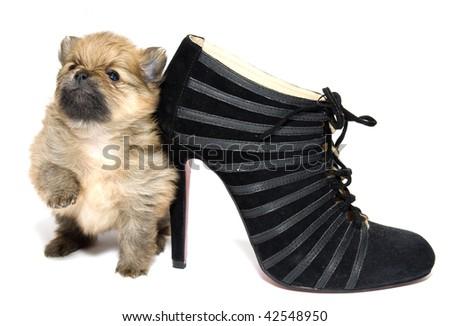 Pomeranian puppy and a black shoe - stock photo