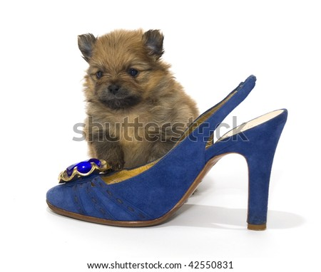 Pomeranian Puppy and a blue shoe - stock photo