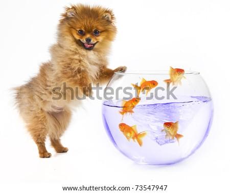 Pomeranian puppy and goldfish - stock photo