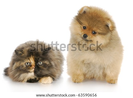 pomeranian puppy and persian kitten looking at viewer with reflection on white background - stock photo