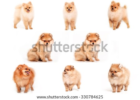 Pomeranian puppy dog isolated on a white background. Collage. - stock photo