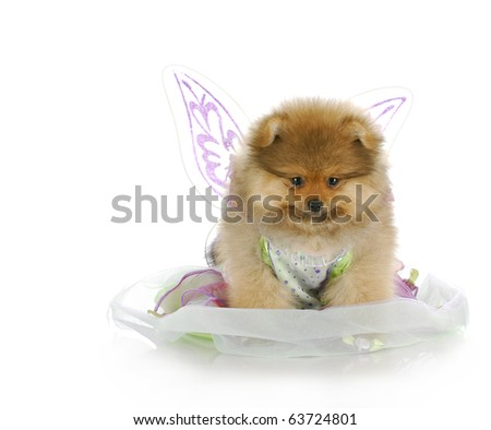 pomeranian puppy dressed up like an angel with reflection on white background