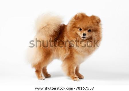 Pomeranian puppy on white gradient background - stock photo