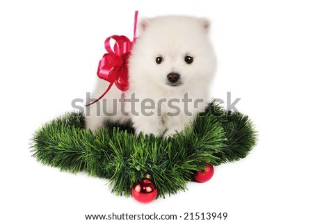 Pomeranian puppy present,surrounded by Christmas Ornaments. - stock photo